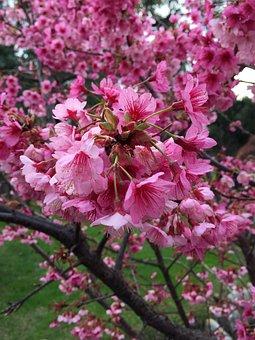 Japan, Sakura, Flower, Spring, Cherry, Japanese Cherry