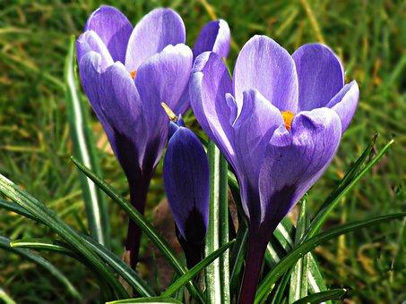 Krokus, Flowers, Yellow, Spring, Nature, Meadow