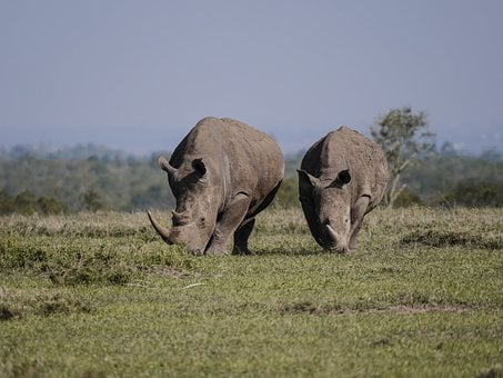 Rhino, Pair, Eat, Savannah, White Rhino, Rhinoceros