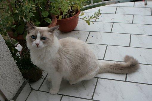 Cat, Ragdoll, Cat On Ballcony, Wild Cat, Animal, Wild