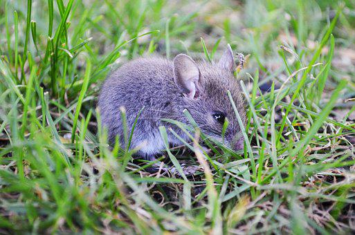 Cute, Grey Mouse, Mosquito, Wildlife, Animal