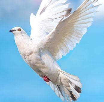 White Dove, Bird In Flight, Dove, Bird, Flight, White