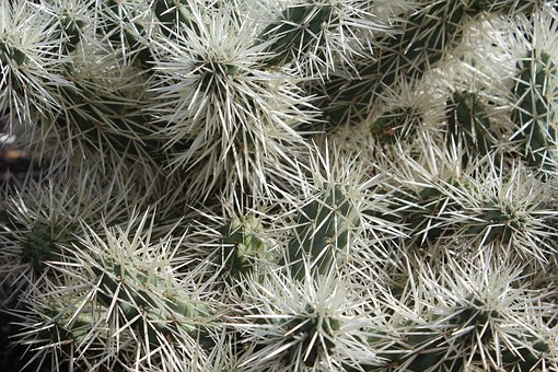 Cacti, Prickles, Cactus, Plant, Prickly, Green, Sharp