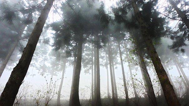 Cedar, Forest, Fog, Morning, Haze, Contrast