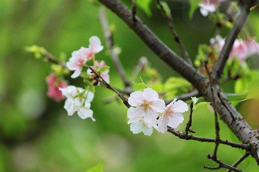 Plant, Cherry Blossoms, The Big Island Of Sakura