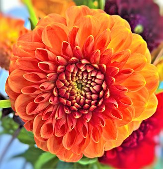Plant, Dahlia, Flower Garden, Ornamental Plant