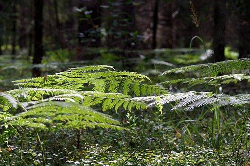 Fern, Foliage, Tree, Forest, Green, Nature, Leaf