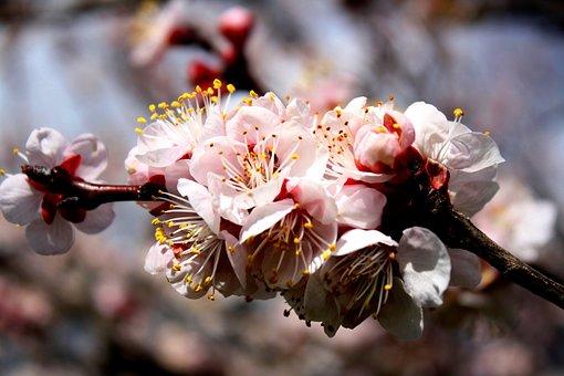 Flowers, Apricot, Fruit Tree