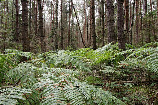 Fern, Gęstwina, Foliage, Tree, Forest, Europe, Green