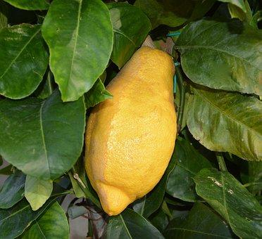 Lemon, Citrus, Lemon Tree, Juice, Citrus Limon, Green
