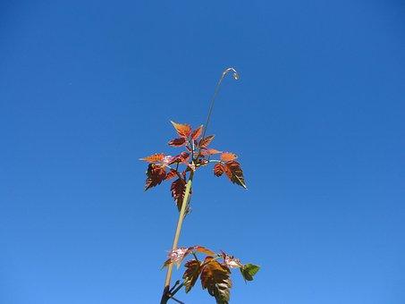 Outbreak, Vine, Leaves, Red