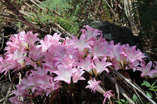 Lilies, Woodland, Pink, Flora, Lily, Nature, Plant