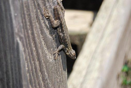 Closeup, Lizard, Nature, Rural, Fence Post