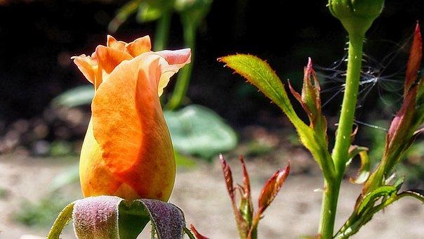 Rose, Bud, Garden, Flower, Nature, Rose Petals