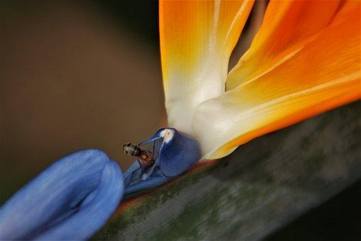 Flower, Bird Of Paradise, Ant, Orange, Blue, Macro
