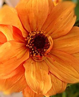 Plant, Dahlia, Flower Garden, Single Bloom, Large