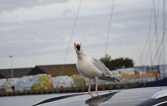 Seagull Sings, Song Of The Seagull, Port Sea, Seabird