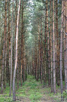 Spruce, Tree, Pine, Forest, Tall, Europe, Green, Nature