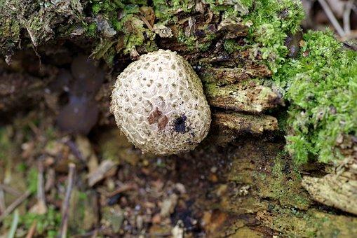 Fuzz-ball, Mushroom, Trunk, Rotten, Tree, Old, Mold