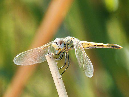 Yellow Dragonfly, Winged Insect, Branch