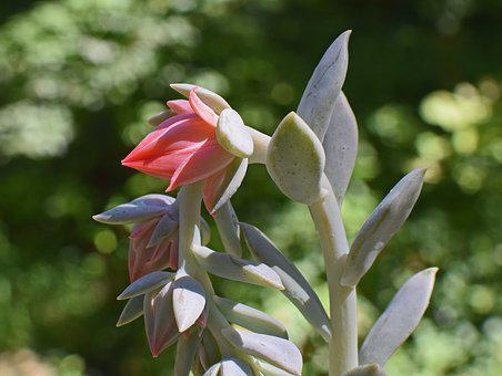 Echeveria Flower Buds, Succulent, Bud, Almost Open