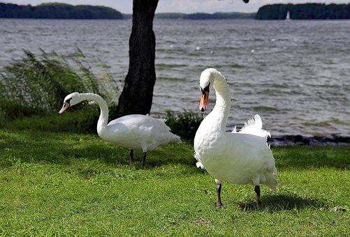 Swan, Swans, Case, Beach, Grass, Bird, Amp Shipping