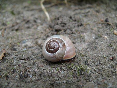 Snail, Brown, Cochlea