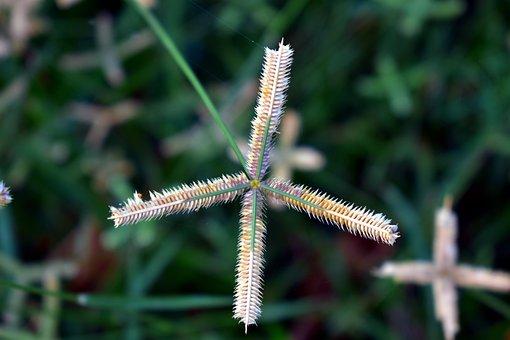 Crowfoot Grass, Finger Comb Grass, Egyptian Grass