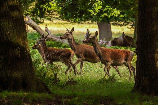 Deer, Forest, Nature, England
