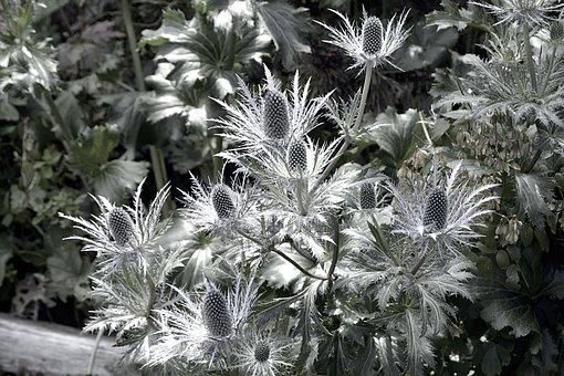The Alpine Eryngo, Blue Thistle, Edeldistel, Plant