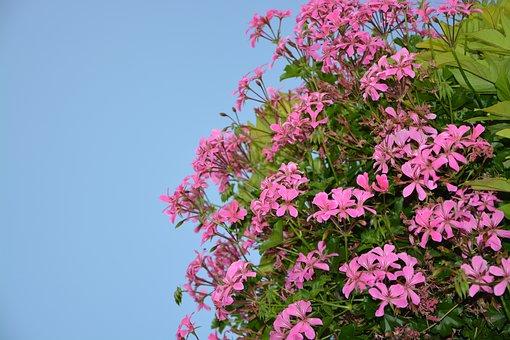 Flowers Geranium Simple, Pink, Nature, Summer Flowers