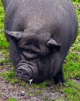 Pig, Pot Bellied Pig, Fold Pork, Portrait