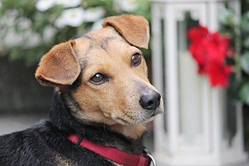 Dog, Hybrid, Brown, Portrait, Dog Head, Dog Look, Fur