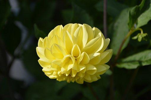 Yellow Flower, Dahlia, Green Leaves, Garden, Nature