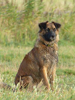 Dog, Dogs, Bitch, Brown, Sweet, Nice, Sit, Is, Outdoor
