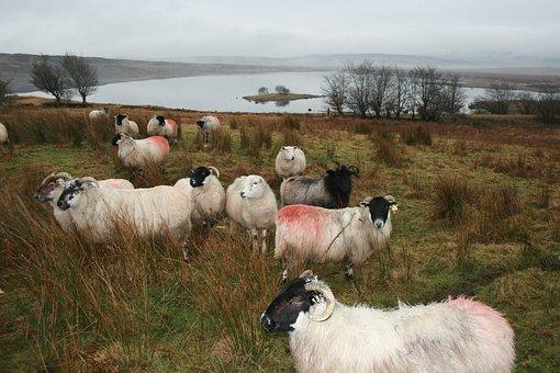 Sheep, Ireland, Donegal, Farm, Animal, Lamb, Livestock