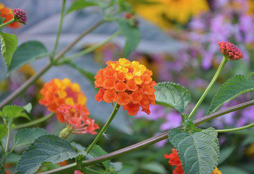 Flowers, Massif, Parterre, Orange Yellow