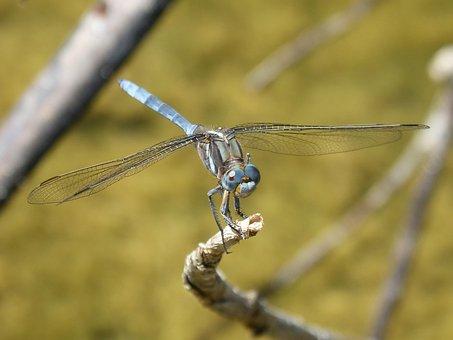 Blue Dragonfly, Dragonfly, Orthetrum Brunneum, Branch