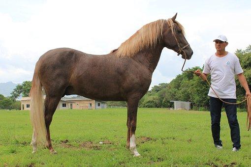 Peruvian, Horse, Panama, Animal