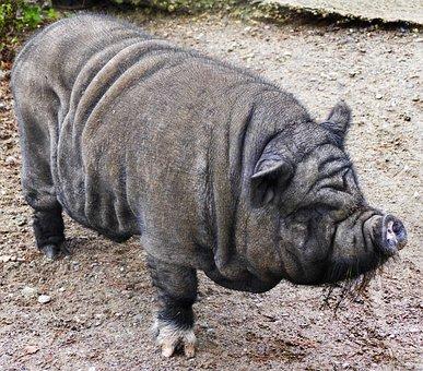 Pig, Pot Bellied Pig, Fold Pork, Bristle Cattle