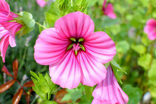 Mallow, Flower, Blossom, Bloom, Nature, Pink Mallow