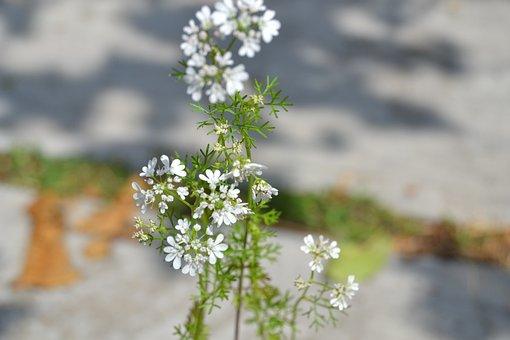 Cilantro, Flowers, Plant, Flower, Green, Flowering