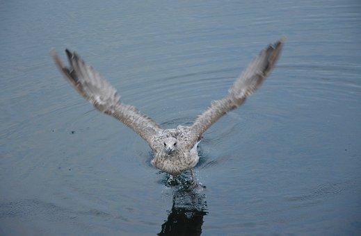 Seagull Takes Flight, Sea, Port, Saint -malo, Seabird