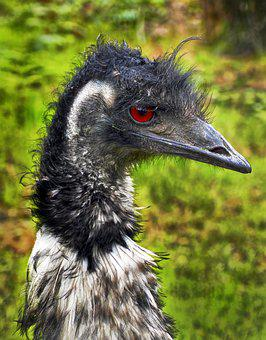 Rhea Bird, Flightless Bird, Portrait, Rhea Americana