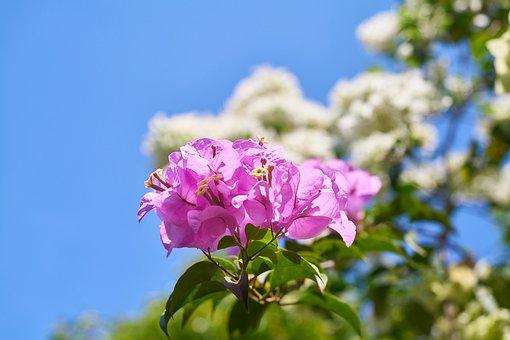 Flower, Purple, Purple Bunches, Purple Daisies, Nature