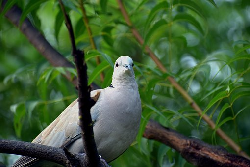 Ring-necked Dove, Half-collared Dove, Indian Dove