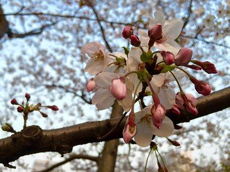 Shanghai, Fudan University, Spring, A Pear Tree