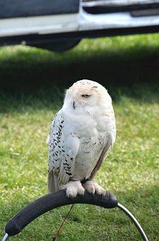 Snowy Owl, Owl, Bird, Snowy, White, Wildlife, Predator