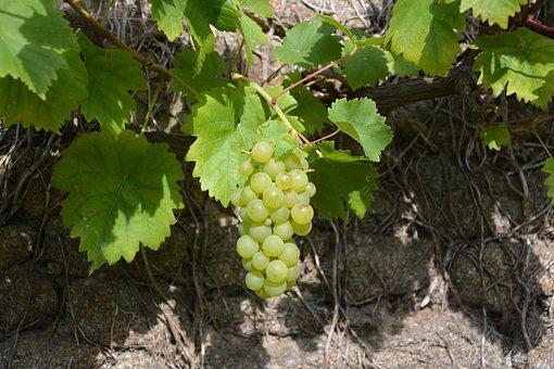 Cluster Of White Grape, Vine, Vineyard, Cep, Fruit