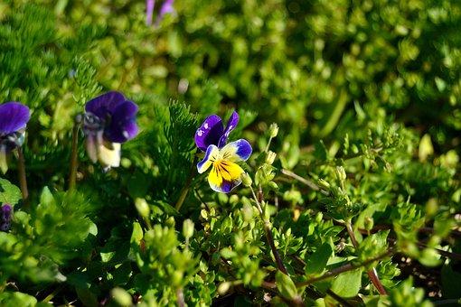 Bosviooltje, Forest, Violin, Purple Violin, Flower